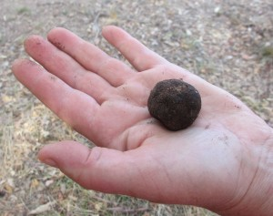 An extra grade truffle.