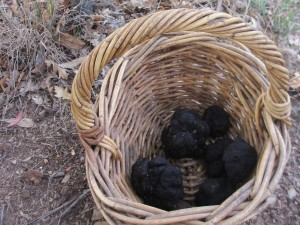 Truffle harvest.